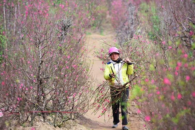 peach-blossoms-and-kumquat-trees-bring-tet-atmosphere-to-hanoi-ed-2