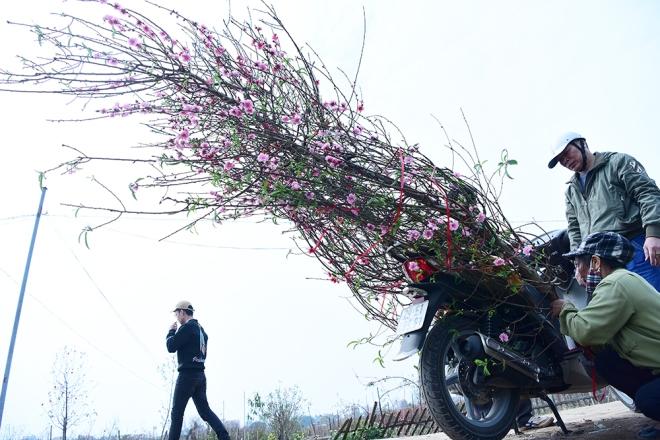 peach-blossoms-and-kumquat-trees-bring-tet-atmosphere-to-hanoi-ed-3