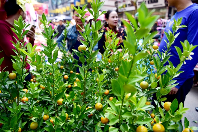peach-blossoms-and-kumquat-trees-bring-tet-atmosphere-to-hanoi-ed-6