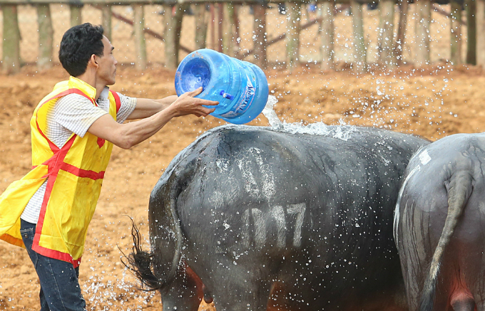 Water partly helped buffaloes increase fighting strength