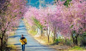 Vietnam's resort town Da Lat cancels cherry blossom festival