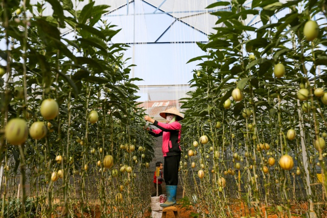 Dinhs plantations cover an area of 1,000 square meters (2,400 acres) with nearly 4,000 melon trees.