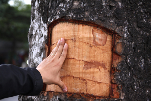 hanoi-trees-have-bark-peeled-off-as-many-desperate-for-cancer-cure-ed-2