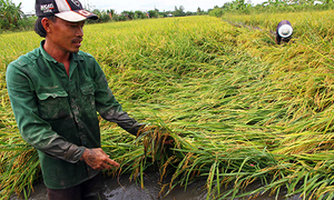 Heavy rain damages rice crops in southern Vietnam