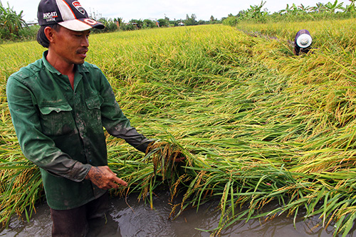 heavy-rain-damages-rice-crops-in-southern-vietnam