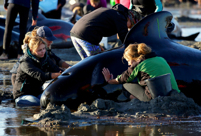 Volunteers attend to some of the hundreds of stranded pilot whales still alive after one of the countrys largest recorded mass whale strandings, in Golden Bay, at the top of New Zealands South Island, February 10, 2017. REUTERS/Anthony Phelps