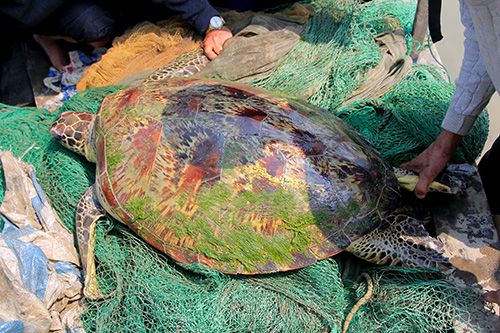 giant-turtle-emerges-from-the-depths-in-central-vietnam