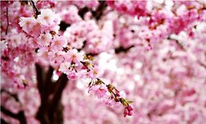 Sakura Festival in Hanoi