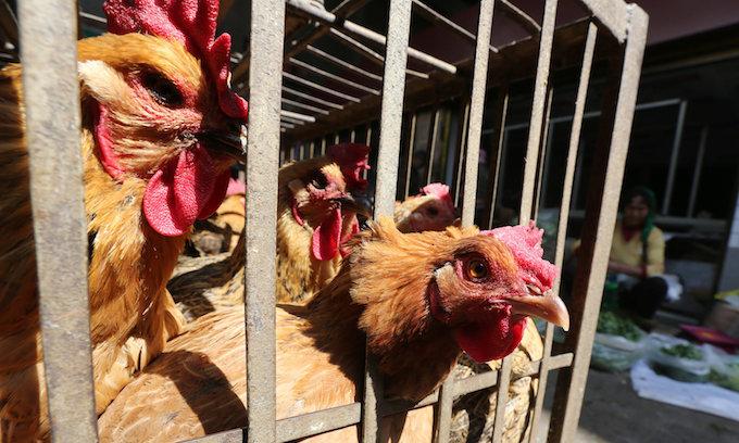Vietnam slaughters chickens following latest bird flu outbreak
