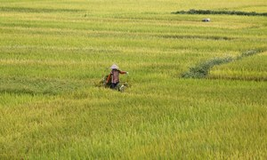 China set to cut into India, Vietnam rice exports in 2017 - USDA