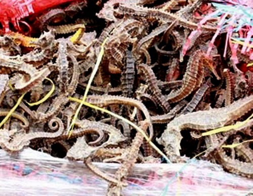 Vietnam seizes nearly 300,000 dead seahorses smuggled from Peru