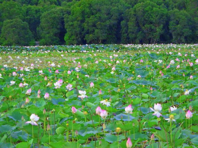 A lotus lake, An Hai Village, Con Dao. Photo by VnExpress Photo Contest/Cao Huy Hai