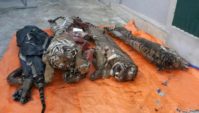 Five frozen tigers have been discovered in a Vietnamese mans freezer with their organs removed, according to official reports on March 21. Photo by AFP