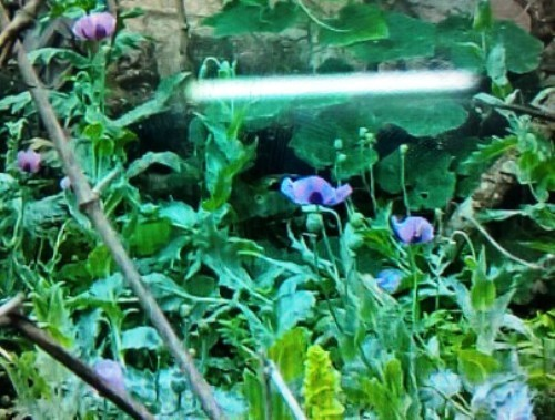 Police detect 113 opium poppies in Vietnamese farmer's garden