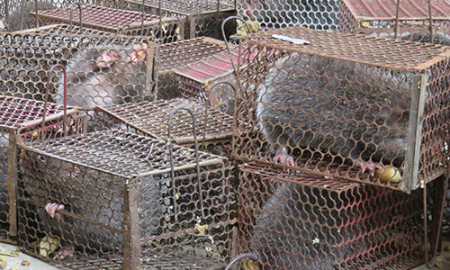 Police intercept restaurant supply, rescue dozens of bamboo rats in Vietnam
