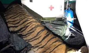 Frozen tiger found in ambulance in northern Vietnam