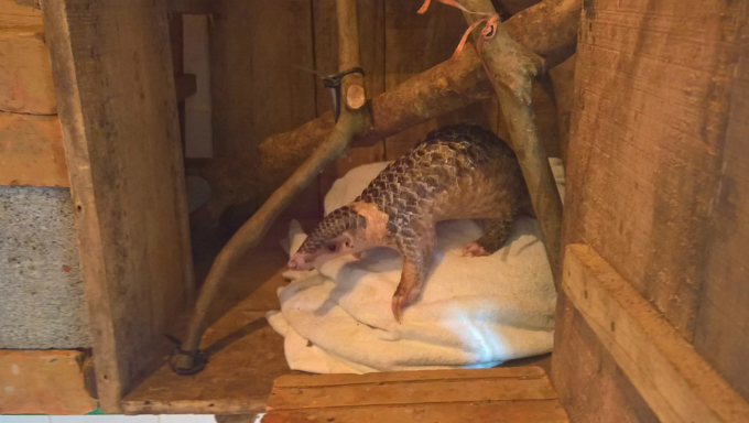 pangolin-orphan-prepared-for-second-chance-in-the-wild-at-vietnam-rescue-center-3