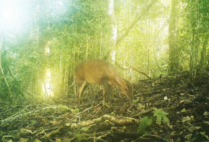 Rare deer species snapped by camera traps in central Vietnam