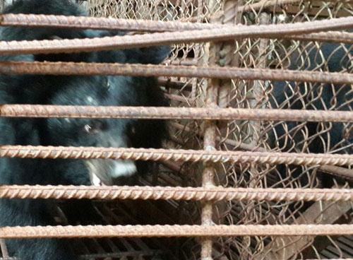 two-endangered-moon-bears-rescued-in-vietnams-central-highlands