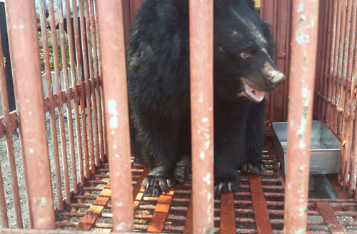two-endangered-moon-bears-rescued-in-vietnams-central-highlands-1