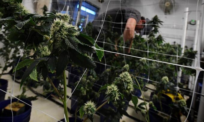 Canada set to unveil legislation legalizing cannabis