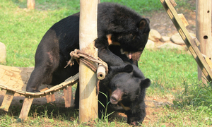 Vietnam's bear sanctuary expands, allowing more to be rescued from bile farming