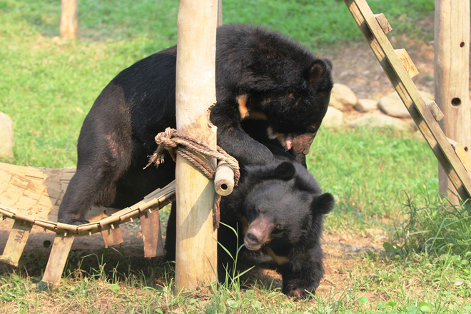 vietnams-bear-sanctuary-expands-allowing-more-to-be-rescued-from-bile-farming