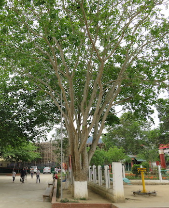 schools-to-cut-down-poisonous-trees-in-central-vietnam-to-prevent-poisoning-hbm