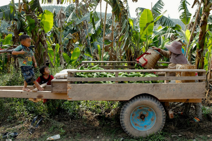 cash-and-chemicals-for-laos-chinese-banana-boom-a-blessing-and-curse-7