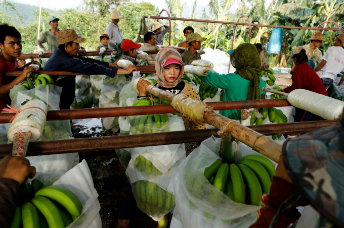 cash-and-chemicals-for-laos-chinese-banana-boom-a-blessing-and-curse-2