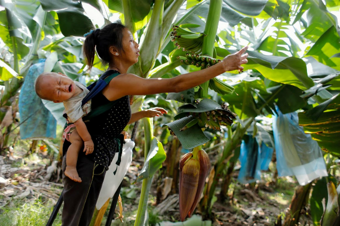 cash-and-chemicals-for-laos-chinese-banana-boom-a-blessing-and-curse-1