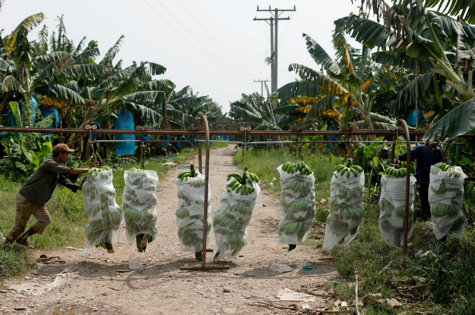 cash-and-chemicals-for-laos-chinese-banana-boom-a-blessing-and-curse-5