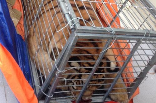 police-investigate-five-vietnamese-for-trafficking-live-tiger-1