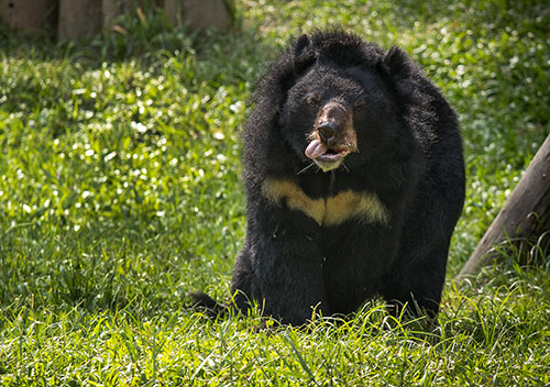 zebedee-the-moon-bear-to-receive-face-surgery-in-vietnam