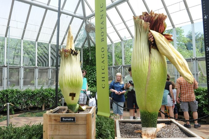 Two giant, rare 'corpse' flowers bloom in Chicago