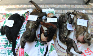 Police detain Vietnamese man for trafficking endangered primate
