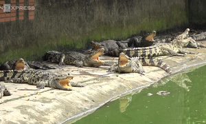 Thousands of crocodiles left hungry in Saigon farms amid price crisis