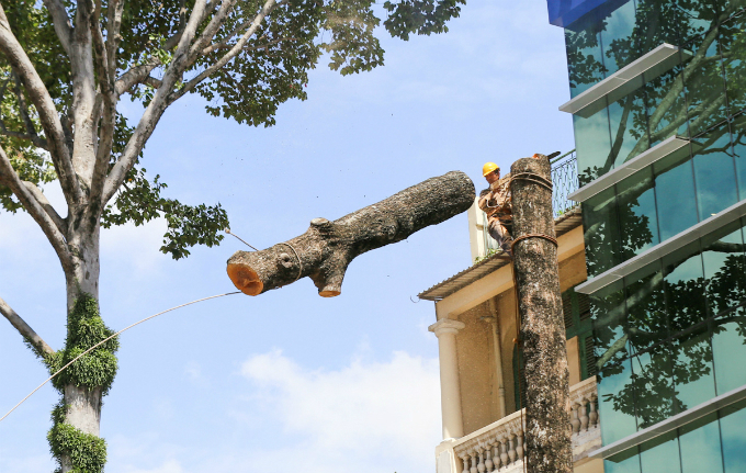 saigon-sacrifices-old-trees-to-make-way-for-first-metro-line