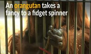 At Austrian zoo, orangutan masters fidget spinner