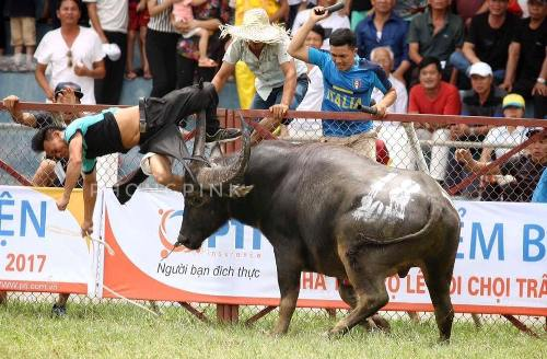 buffalo-kills-owner-during-festival-in-northern-vietnam