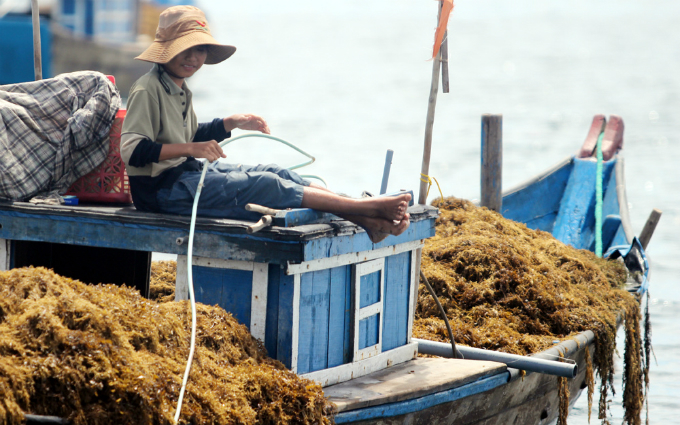 money-to-dive-for-algae-rush-sends-vietnamese-fishermen-deep-into-the-ocean-3