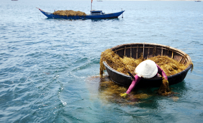 money-to-dive-for-algae-rush-sends-vietnamese-fishermen-deep-into-the-ocean-4