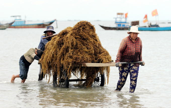 money-to-dive-for-algae-rush-sends-vietnamese-fishermen-deep-into-the-ocean-5