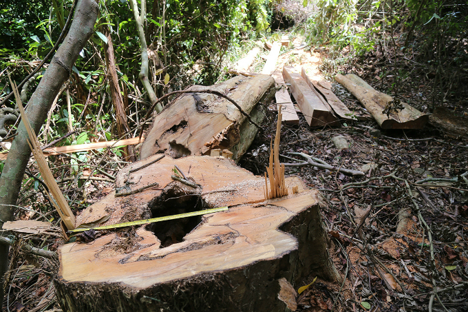 locals-uncover-illegal-logging-operation-deep-in-the-jungle-of-central-vietnam-2