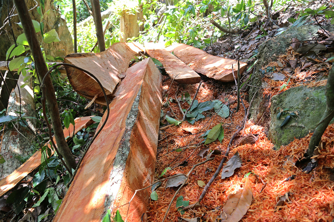 locals-uncover-illegal-logging-operation-deep-in-the-jungle-of-central-vietnam-3