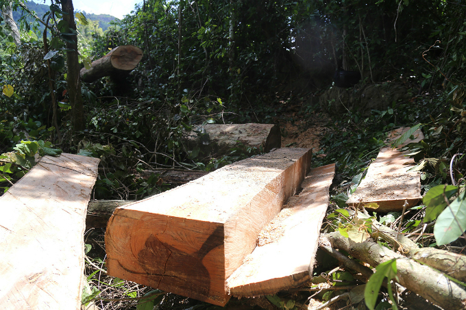 locals-uncover-illegal-logging-operation-deep-in-the-jungle-of-central-vietnam-4