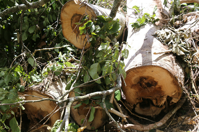 locals-uncover-illegal-logging-operation-deep-in-the-jungle-of-central-vietnam-6