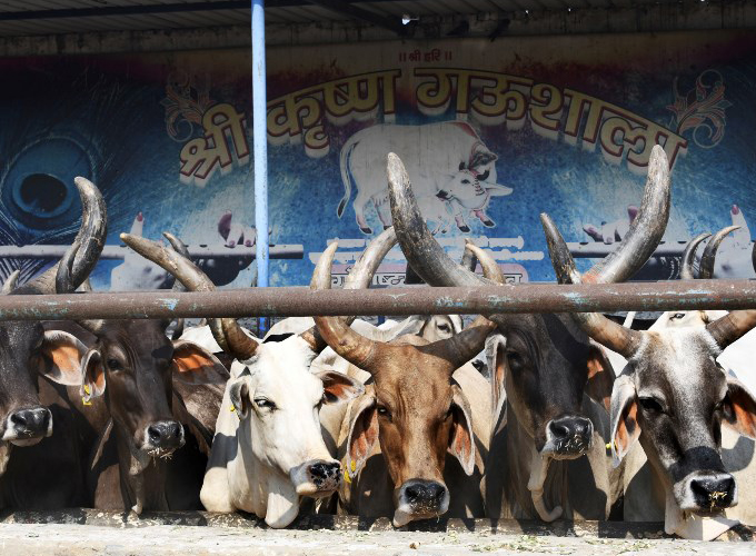 no-room-at-the-inn-for-indias-sacred-cows