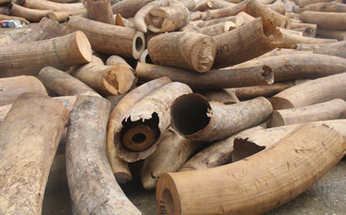 Bent Hanoi customs officer caught stealing ivory seized from smugglers