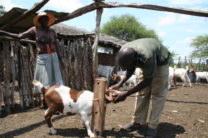 Herder Isaac Siziba inspects one of his goats in Gwanda, Zimbabwe, February 2017. Photo by Thomson Reuters Foundation/Busani Bafana